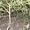 Продам саженцы плакучая ива #955619