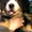 Бернский зенненхунд,  щенки #1105418