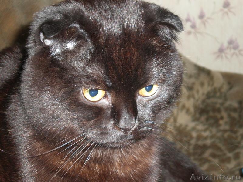 Черные шотландские вислоухие коты