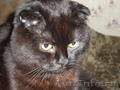 Пропал черный шотландский вислоухий  кот.