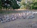 Продам гусей к Новому году