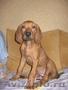 щенок родезийский риджбек