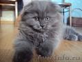 Котёнок скоттиш фолд