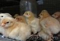 Цыплят цветного бройлера sasso XL 451 Франция