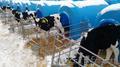 Продаются телята бычки мясной породы от 1-3 месяцев с доставкой в регионы