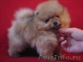 Милые собачки миниатюрного померанского шпица.